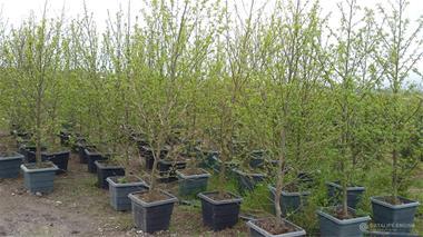 فروش درخت عنبرسائل - 1