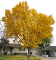 فروش درخت ژینکو ( جینکو )