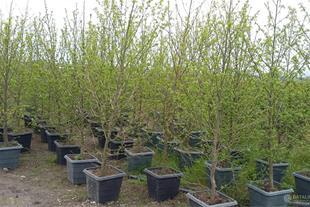 فروش درخت عنبرسائل