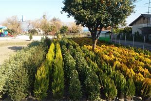 فروش گلهای فضا باز و فروش درخت جنگلی شمال کشور
