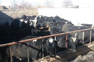 فروش فوری 20 عدد گوساله هلشتیان