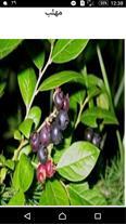 میوه ی مهلب(آلبالوتلخ)