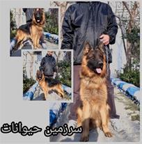 سگ نگهبان ژرمن شپرد