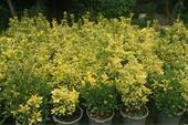 فروش و تولید شمشاد طلایی و  فروش گل و گیاه