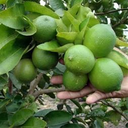 فروش نهال لیمو شیرین - 1