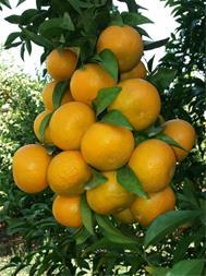 تولید و فروش نهال لیمو - 1