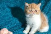 فروش بچه گربه پرشین اگزوتیک شورت هیر