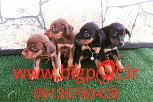فروش توله سگ دوبرمن بلوطی و مشکی