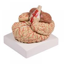 مولاژ مغز انسان در اندازه های طبیعی