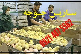 فروش جوجه مرغ بومی اصلاح نژادشده ، گوشتی نژاد راس