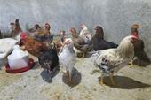 فروش مرغ تخمگذار