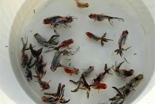 خریدار ماهی راوند کاشان