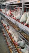 فروش مرغ تخمگذار هایلاین
