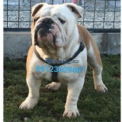 فروش سگ بولداگ - توله بولداگ وارداتی - خرید سگ بول - 1