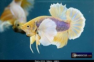 فروش ماهی فایتر (نر وماده)