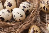 فروش تخم نطفه دار تمام طیور و پرندگان