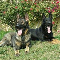 فروش سگ ژرمن شپرد ورک لاین