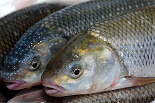 فروش ماهی قزل آلا فرانسوی، تحویل رایگان