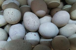 تخم خوراکی کبک