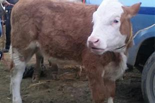 فروش گوساله سمینتال صد کیلو و دویست کیلو