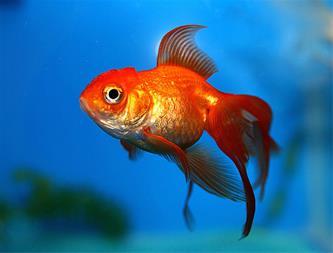 قیمت خرید ماهی قرمز در کرمان - 1