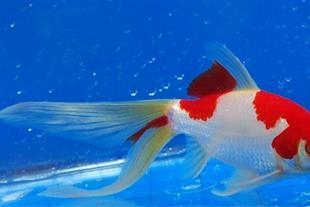 فروش عمده ارزانترین ماهی قرمز رشت