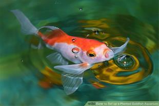 قیمت فروش ماهی قرمز در رشت