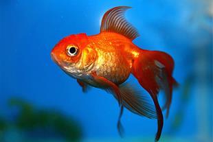 قیمت خرید ماهی قرمز در کرمان