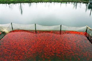 عرضه انواع ماهی قرمز در رشت