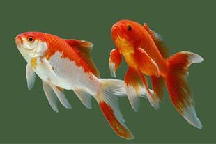عرضه اینترنتی ماهی قرمز عید در رشت