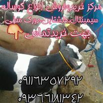 خرید و فروش گوساله سمینتال