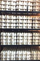 فروش تخم نطفه دار  - فروش تخم اردک