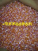 فروش عمده بذر ذرت 704 مغان