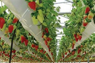آموزش تولید توت فرنگی گلخانه ای بدون خاک