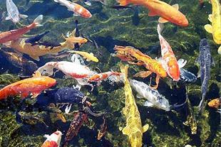 فروش عمده ماهی کوی 10 تا 12 سانت نژاد دار