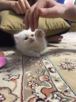 توله گربه پرشین سفید چشم آبی
