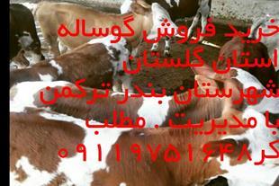 خرید و فروش گوساله سیمینتال هلشتاین دورگ بومی