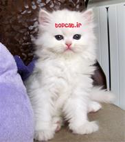 فروش بچه گربه های پرشین زیبا در تمام رنگ ها