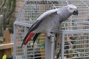 طرح توجیهی واحد پرورش پرندگان زینتی