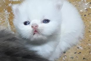 فروش بچه گربه پرشین به شرط دامپزشک مورد اعتمادشما