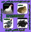 تولید کننده انواع لاستیک های طیور و انواع پرندگان