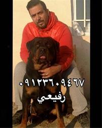 فروش سگ رتوایلر اموزش دیده -سگ روتوایلر - 1