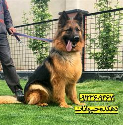 فروش تخصصی سگ ژرمن شپهرد - ژرمن شپرد اصیل - 1