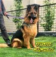 فروش تخصصی سگ ژرمن شپهرد - ژرمن شپرد اصیل