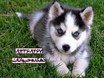 فروش سگ هاسکی - خرید سگ هاسکی - قیمت سگ هاسکی - 1