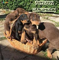فروش توله سگ دوبرمن - سگ دوبرمن اصیل