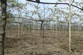 زمین فوق العاده باغ کیوی دور محصور با سند