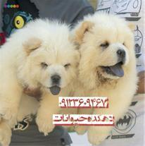 فروش توله چاوچاو - فروش سگ چاوچاو وارداتی