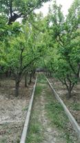 فروش باغچه 780 متر در منطقه سنقرآباد