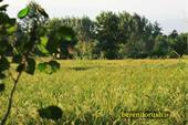 برنج هاشمی درشت و نیم دانه خالص مستقیم ازمزرعه دار
